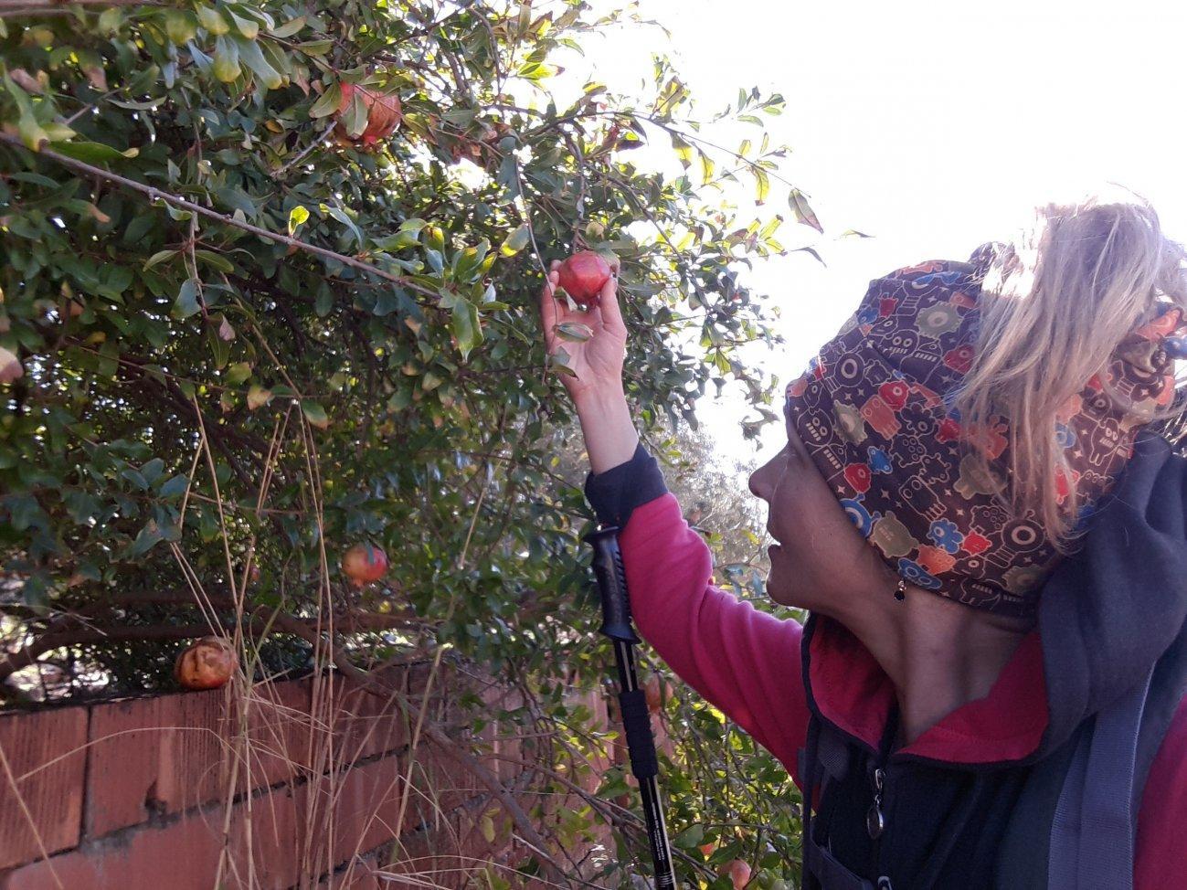 У оливкового дерева