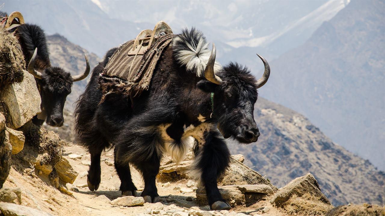Яки в горах Гималаев