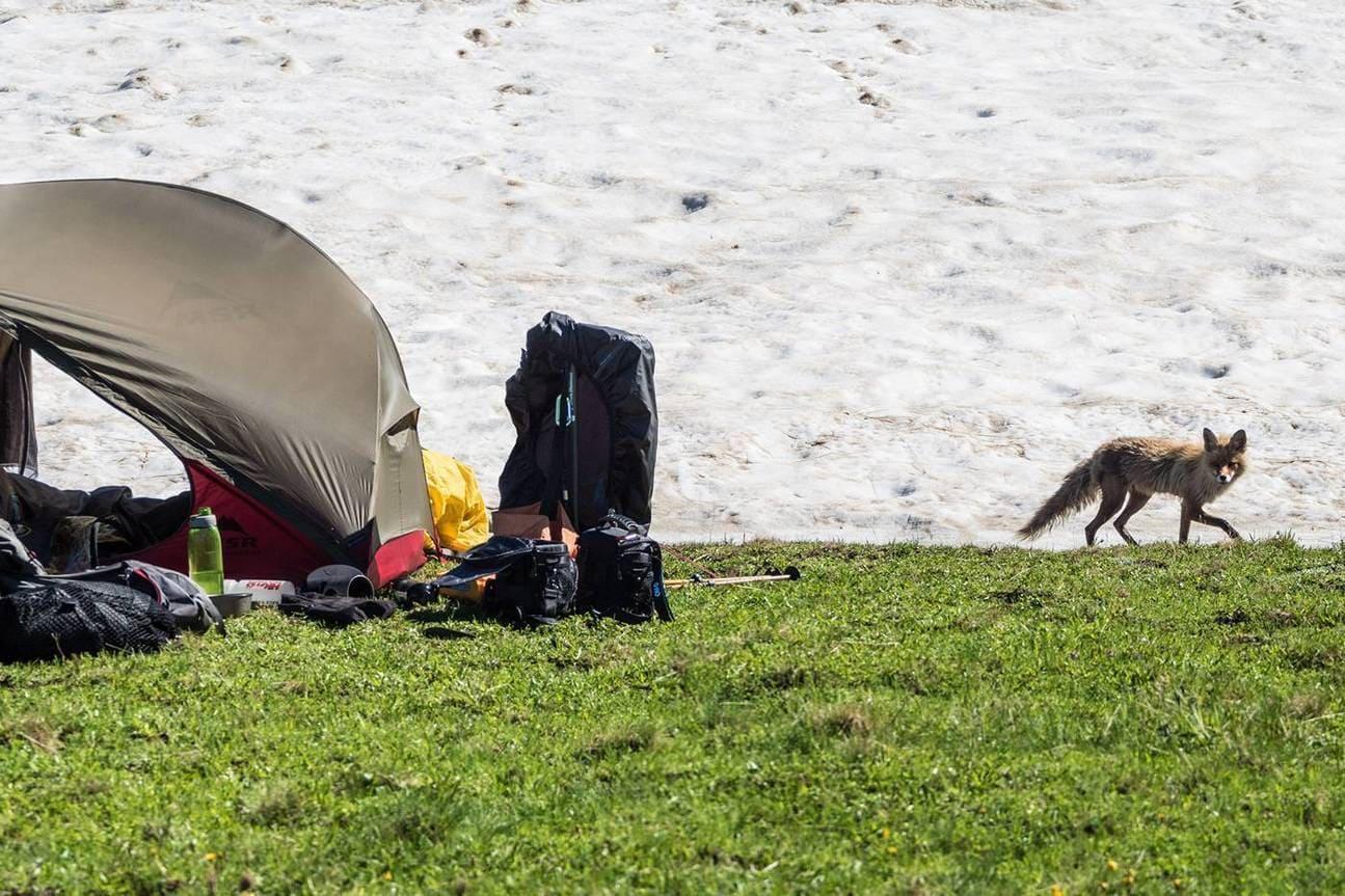 Лиса у палатки