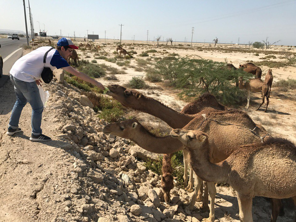 Путешественник кормит верблюдов