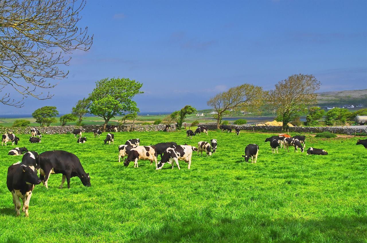 Коровы Ирландия