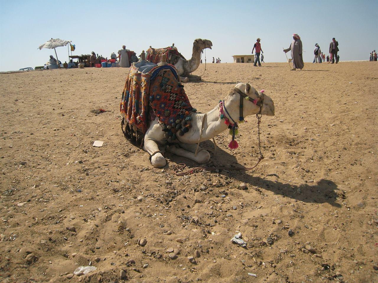 Верблюд в пустыне Гизы в Каире