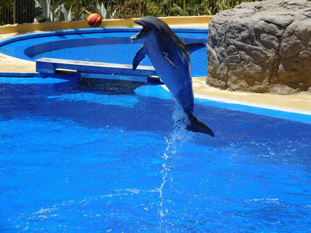 Балийский дельфин ловит мячик