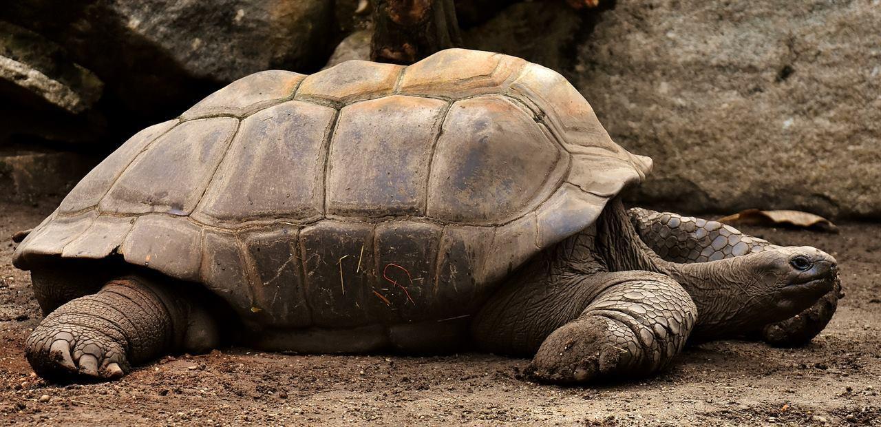Гигантские черепахи на Галапагосских островах