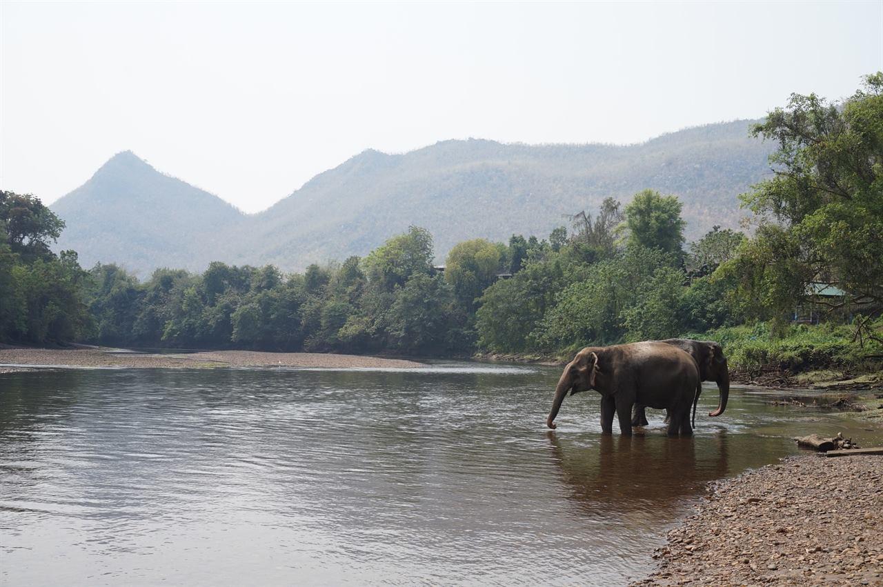 Суматранские слоны на водопое
