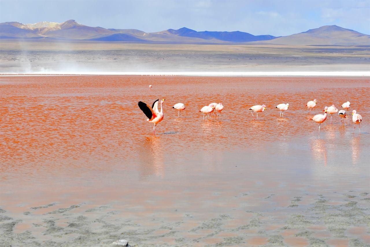 Ярко-красная лагуна Колорадо Фламинго