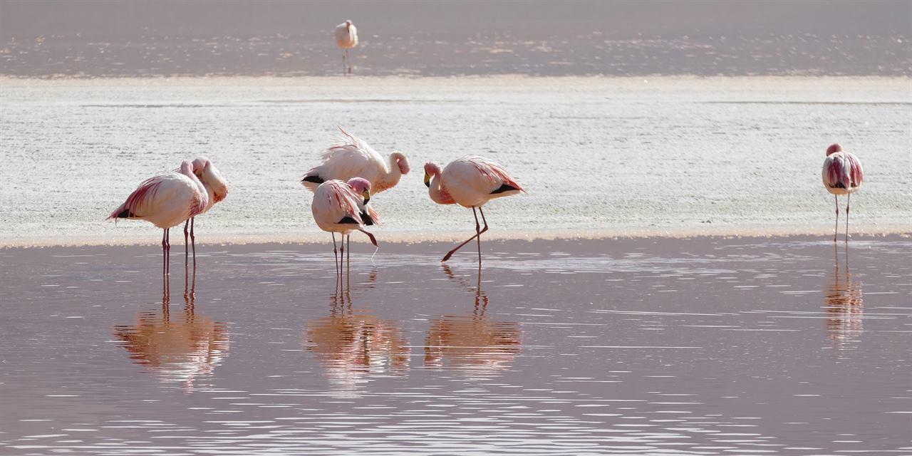 Боливия розовые фламинго лагуна Колорадо