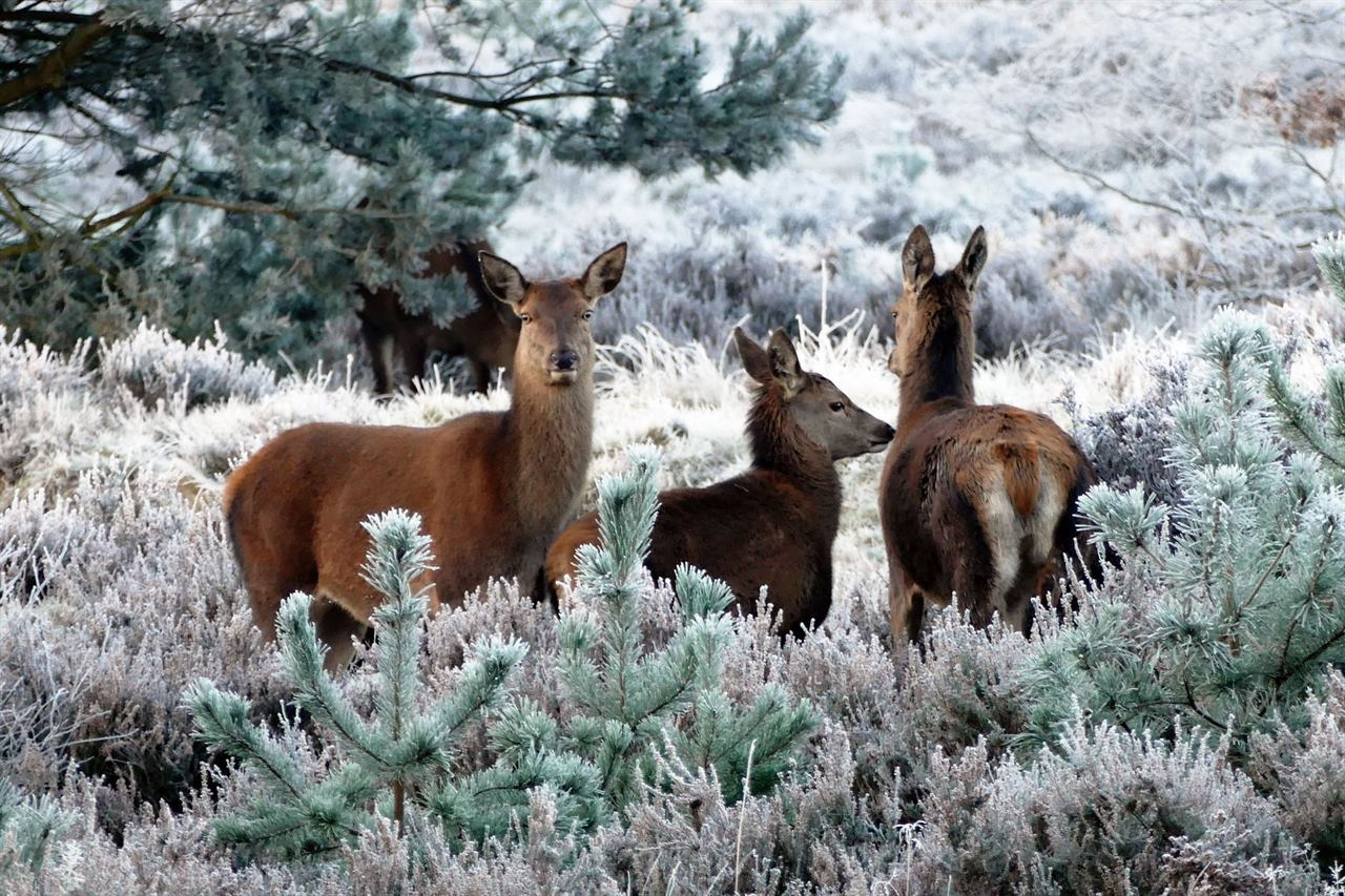 Олени зимой Финляндия