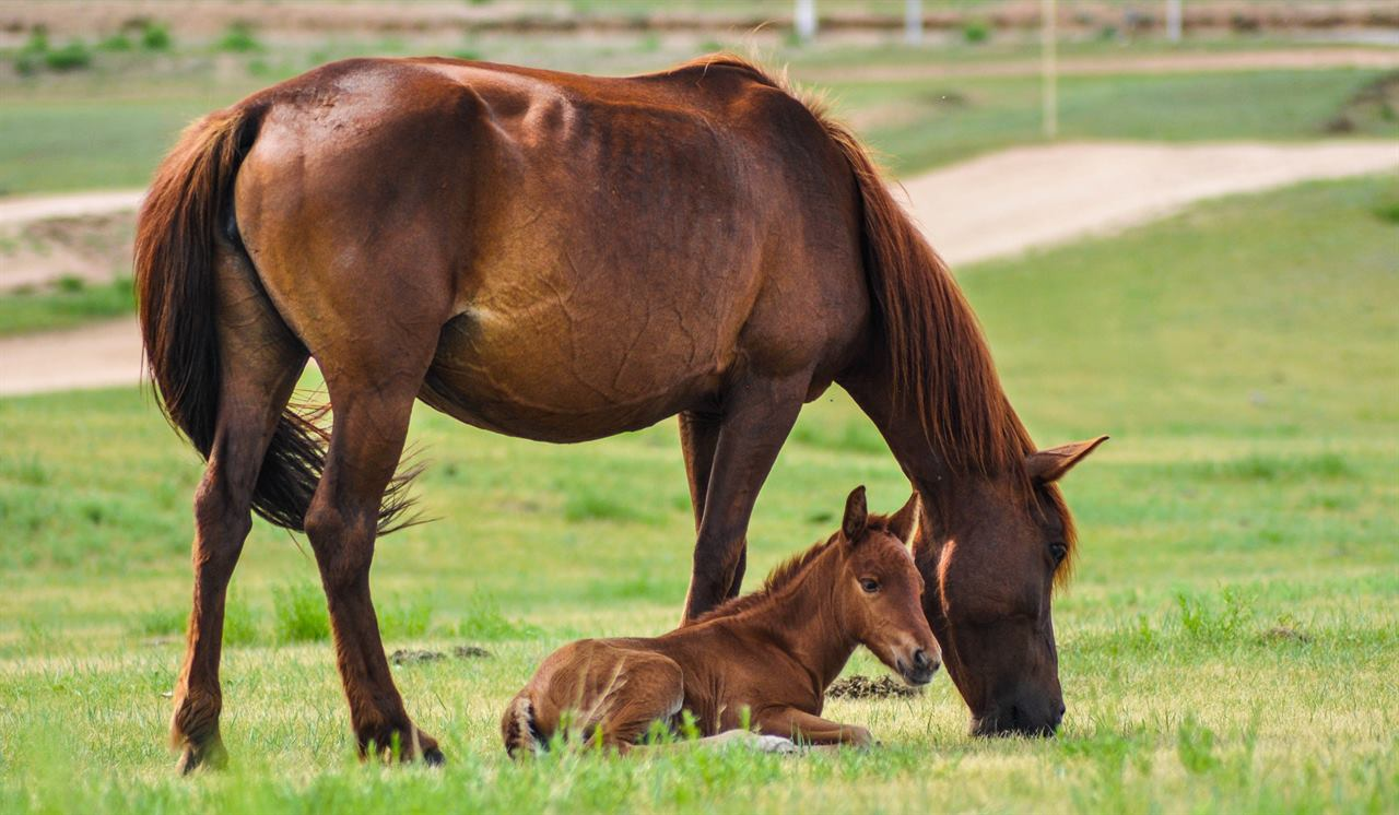 Монгольские лошади