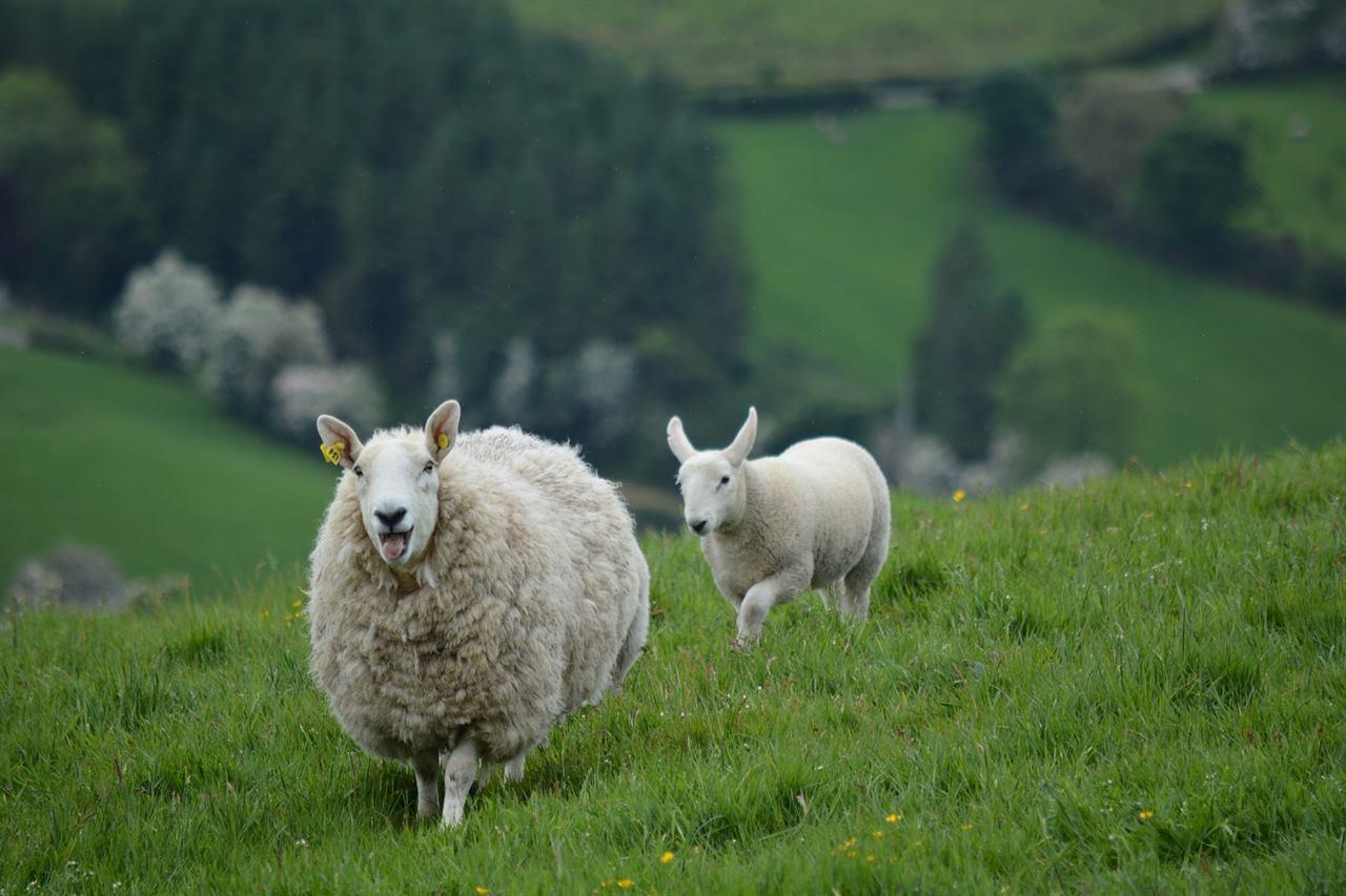 Овцы Ирландия